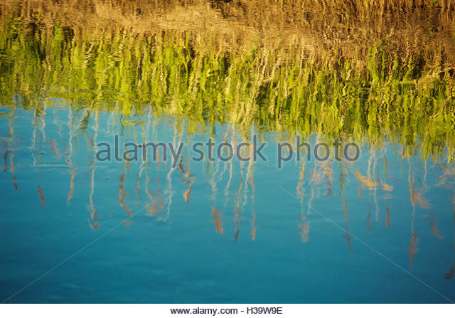 cattails reflected in a pond - Stock Image