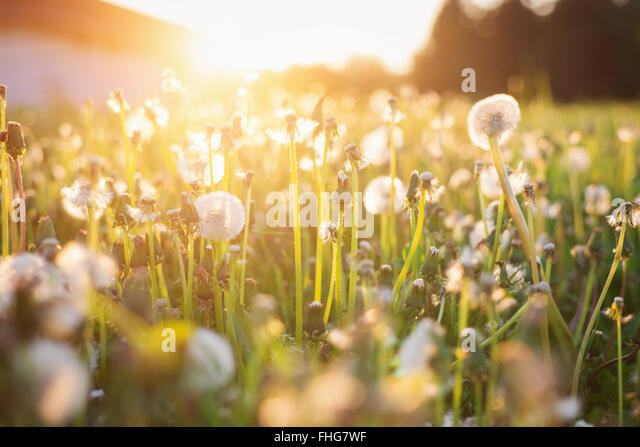 Green summer meadow with dandelions at sunset. Nature background - Stock Image