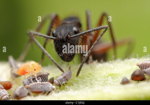 These ants feed on the nymph's honeydew drops, the nymphs get it from the vegetation and feed the ants in exchange - Stock Image