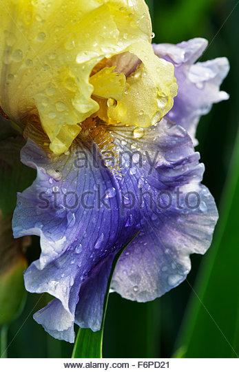 Close up of Bearded Iris - Stock Image
