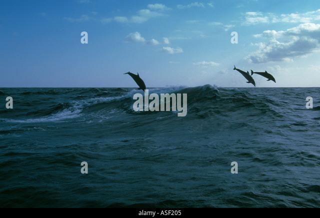 3 bottlenose dolphins Tursiops truncatus leaping high above restless ocean Pacific Ocean near Kermadec Islands New - Stock Image