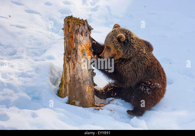 brown bear (Ursus arctos), juvenile brown bear in the snow scratching at an old tree trunk, Switzerland, Waadt, - Stock Image