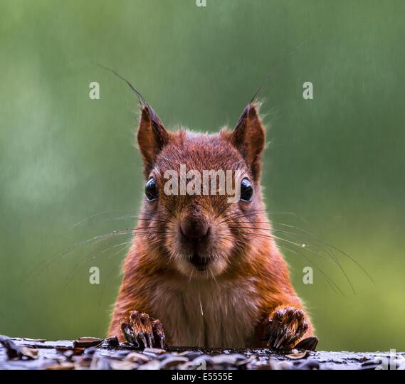 portrait of a Red Squirrel, Sciurus Vulgaris, - Stock Image