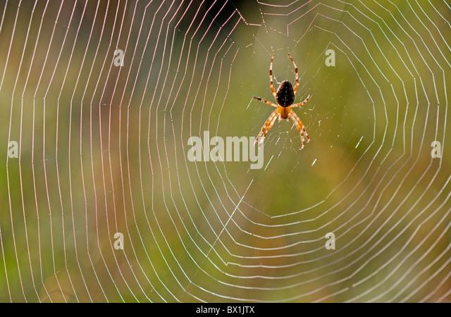 Garden spider in the middle of its web - Araneus diadematus - Stock-Bilder