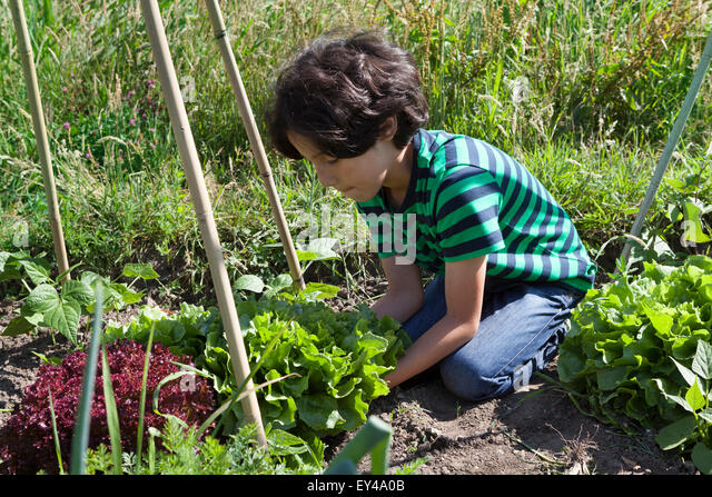 Little boy in the vegetable garden digging up fresh green endive - Stock Image
