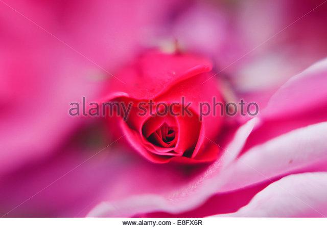 Macro of pink rose bud - Stock Image