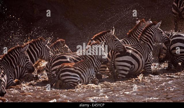 Common or Plains zebra (Equus quagga burchellii)crossing the Mara River. Masai Mara National Reserve, Kenya, September - Stock Image