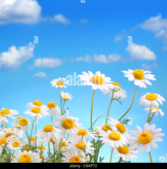 Daisy bouquet on blue sky background - Stock Image