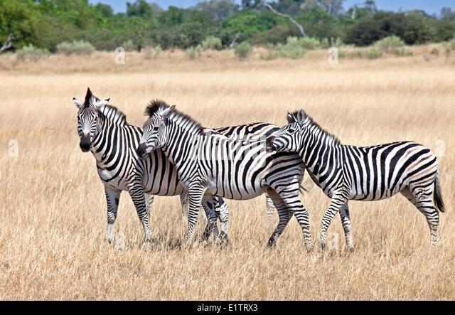 Zebras, equus quagga, Moremi National Park, Botswana, Africa - Stock Image