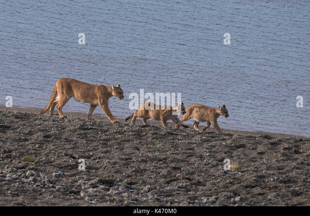 Mother Puma and two cubs from Torres del Paine, Chile - Stock Image