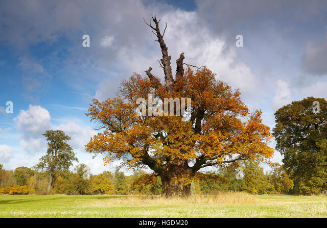 650 year old oak tree with autumn colors, Middle Elbe Biosphere Reserve, Dessau, Saxony-Anhalt, Germany - Stock Image