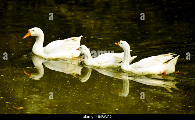 Three swans, swimming in a lake - Stock Image