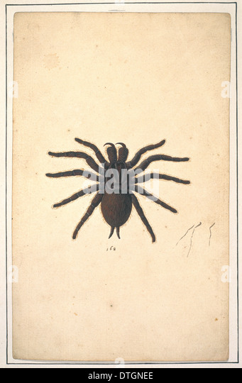 English spiders - Stock Image