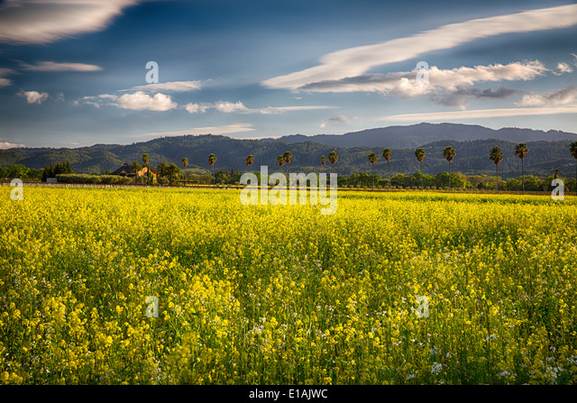 Napa Valley Spring Vista with Blooming Yellow Mustard and Palm Trees, Rutherford,California - Stock Image