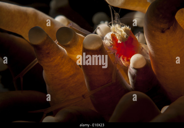 A popcorn shrimp in the Sea Anemone, Malaysia (Periclomenes kororensis) - Stock-Bilder