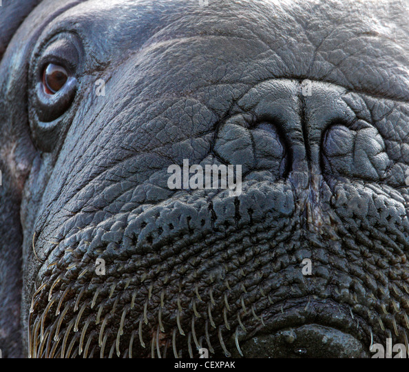 Walrus male close-up, Svalbard, Norway - Stock Image