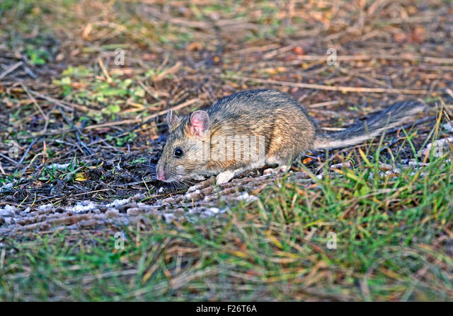 Bushy-tailed Wood rat or Pack Rat in field - Stock-Bilder