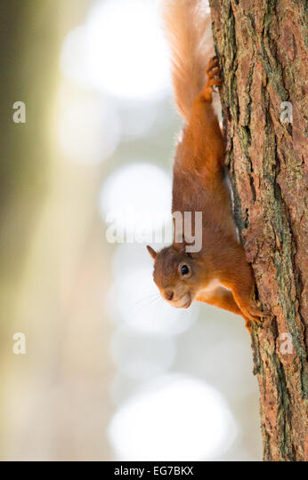 A Red squirrel photographed at Kielder forest - Stock Image