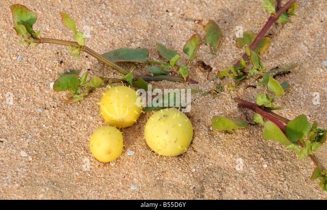 Spiny Fruits Stock Photos & Spiny Fruits Stock Images - Alamy