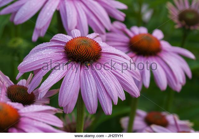 echinacea echinacea purpurea stock photos echinacea. Black Bedroom Furniture Sets. Home Design Ideas