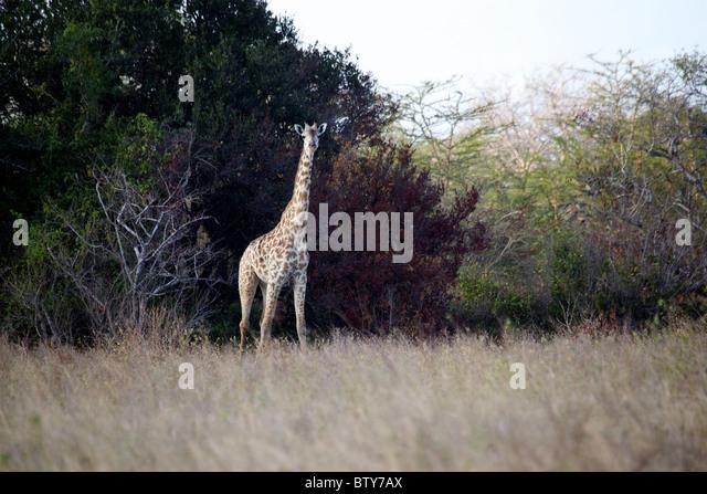 MAASAI GIRAFFE ( Giraffa camelopardalis tippelskirchi ) Saadani National Park Tanzania - Stock Image