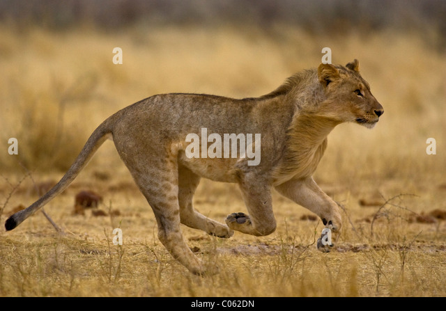 Young lion running, Etosha National Park, Namibia - Stock Image