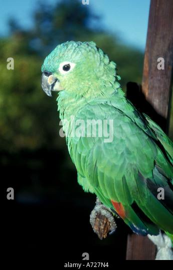 Nicaragua green parrot - Stock Image