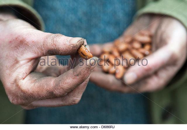 Phaseolus vulgaris var. vulgaris. Gardeners Hands holding French bean Jimenez - Stock-Bilder