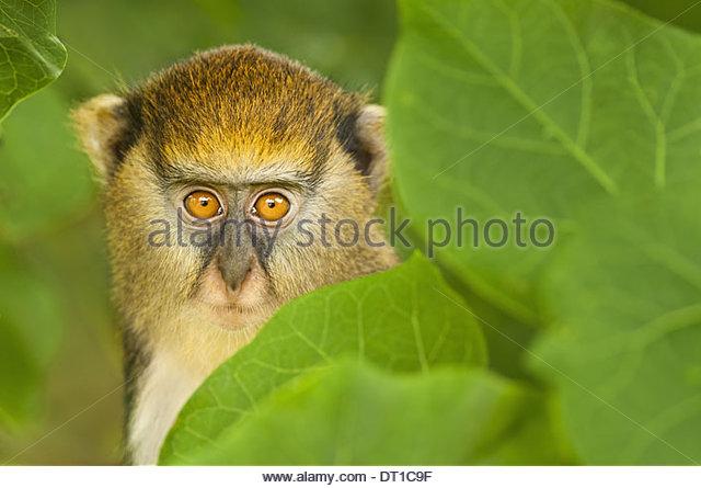 Boabeng-Fiema Monkey Sanctuary Ghana young Mona monkey Cercopithecus mona Ghana - Stock-Bilder