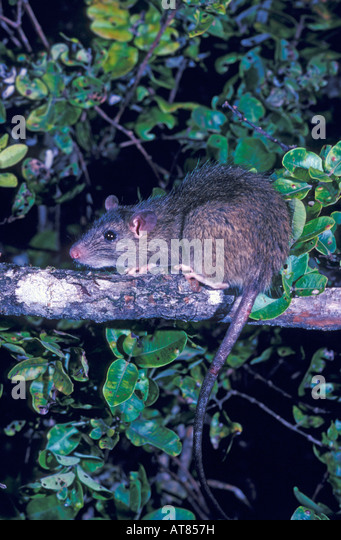 Black rat, Rattus rattus.  Introduced to Hawaii in the 1800's is an invasive species that preys on native forest - Stock-Bilder