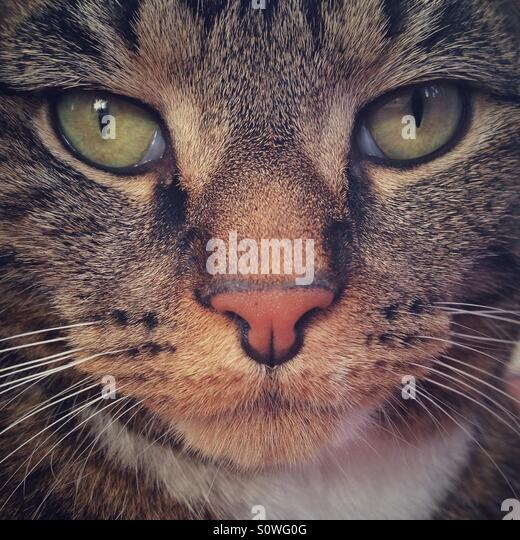 Tabby cat portrait. - Stock Image