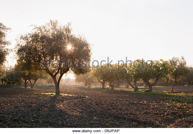 Olive trees in morning sunlight, Sousse, Tunisia - Stock Image