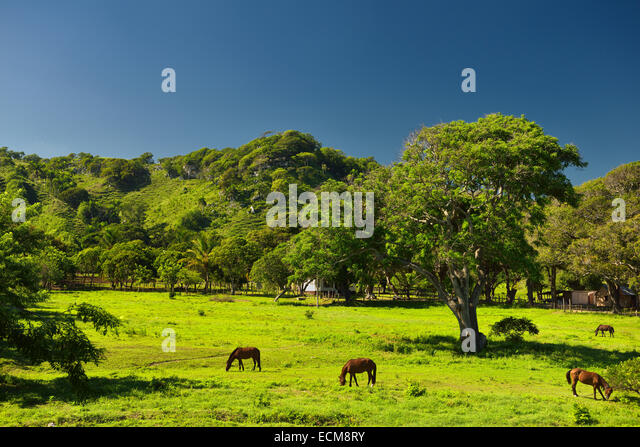 Horses grazing on green grass at a ranch west of Puerto Plata Dominican Republic with blue sky - Stock Image