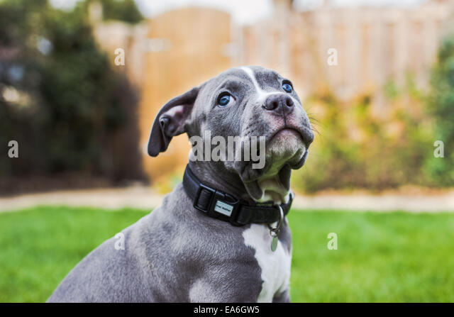 American Bully Puppy Portrait - Stock-Bilder