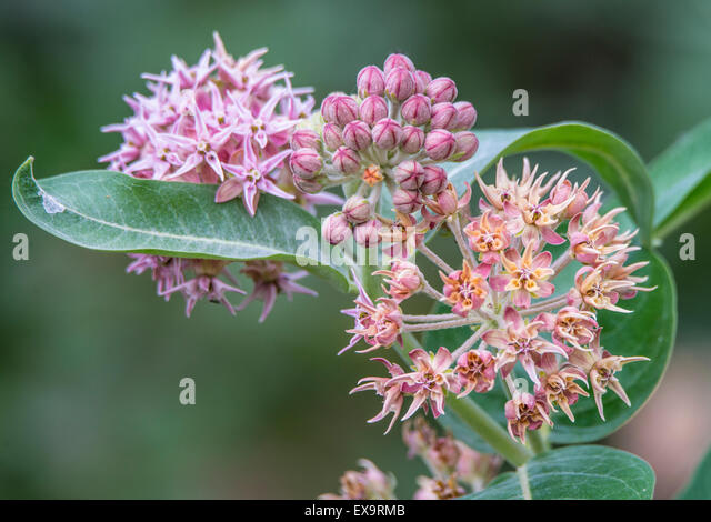 Butterflies,Food, Blooming Common Milkweed PLant growing in a riparian backyard.  Idaho, Usa, North America - Stock Image