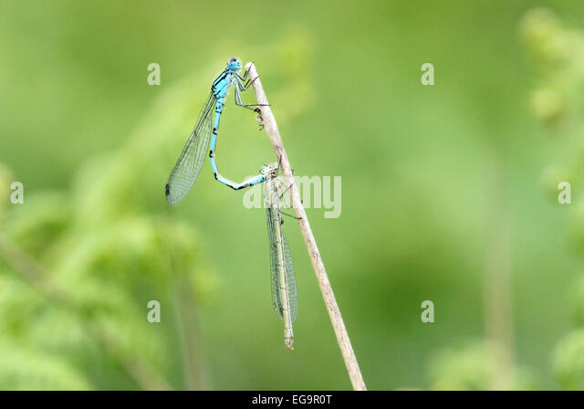 Damselflies mating. Richmond Park, London UK - Stock Image