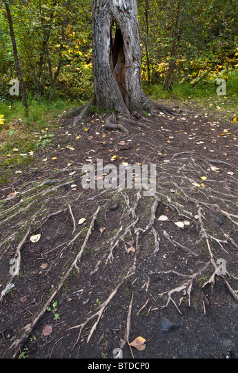 A massive network of roots spread out from a tree alongside the trail to Thunderbird Falls in Chugach State Park, - Stock Image