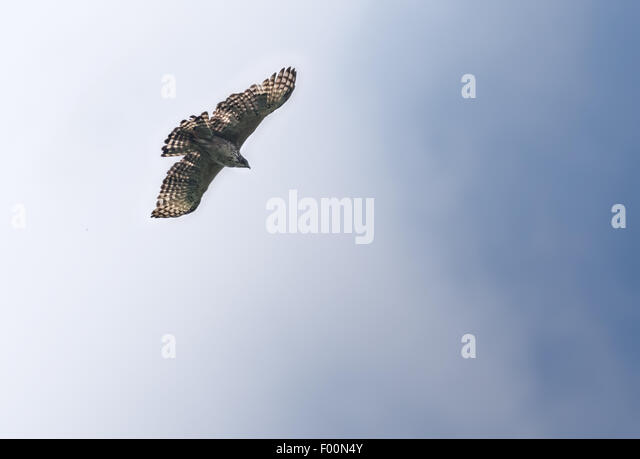 Mountain hawk Eagle, Nisaetus nipalensis Soaring in sky with copy space - Stock Image