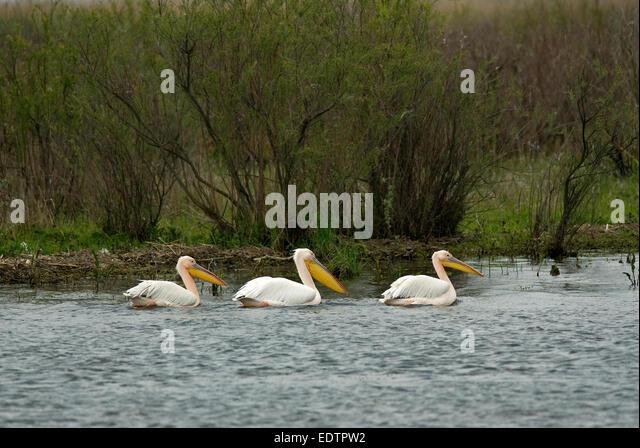 Great white pelican (Pelecanus onocrotalus), Danube delta, Romania, Europa - Stock Image