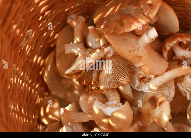 basket with eatable mushrooms - Stock Image