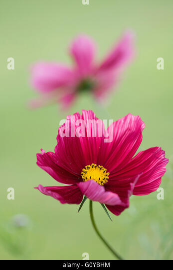 Cosmos, Cosmos bipinnatus 'Antiquity', Annual, Beauty in Nature, Colour, Contemporary, Cottage garden plant, - Stock Image