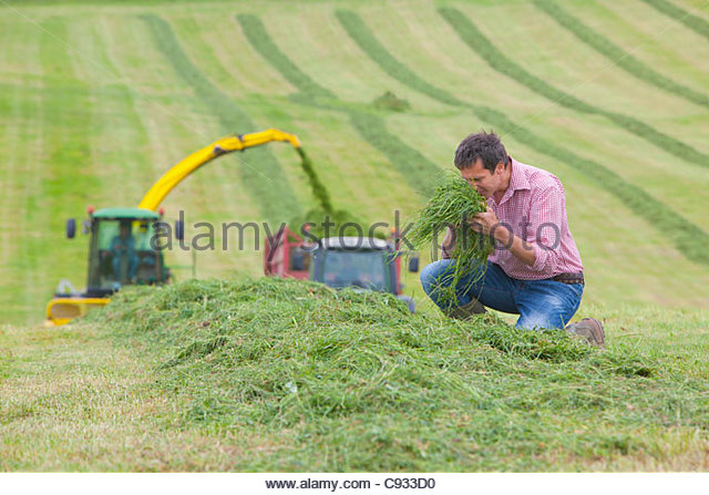 Farmer smelling pile of green hay in field with tractors - Stock Image