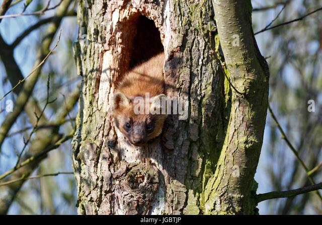 European pine marten (Martes martes), male peeking out of a knothole, resting place, natural park river landscape - Stock Image
