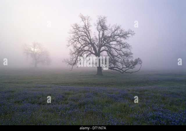 Oak trees in the mist of the early morning in California - Stock Image