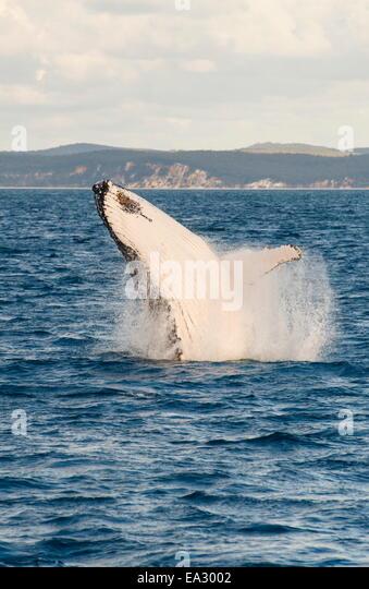 Humpback whale (Megaptera novaeangliae) breaching, Hervey Bay, Queensland, Australia, Pacific - Stock Image