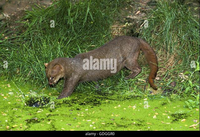 Jaguarundi, herpailurus yaguarondi, Adult fishing - Stock Image