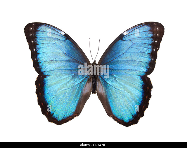 Blue Butterfly Isolated on White - Stock Image