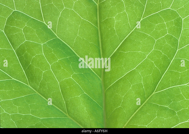 bilaterally symmetrical ivy leaf - Stock-Bilder
