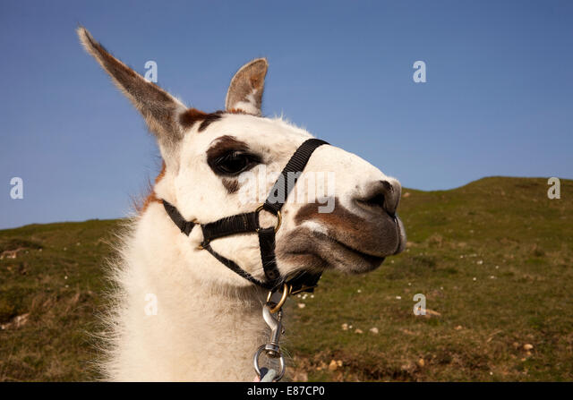 White Llama close up - Stock Image