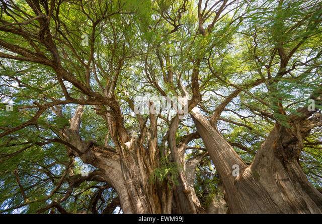 Expansive branches of tule tree tree of life widest tree in the